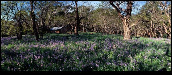 Bluebells at La Franchis Hut near Daylesford